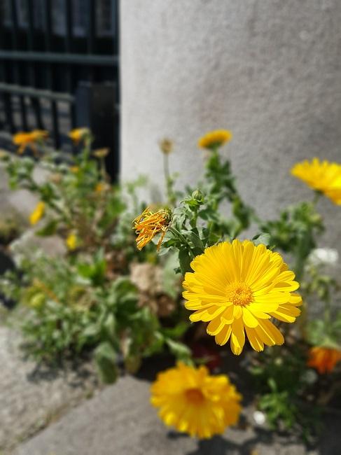 Végétaliser un trottoir Fleurs13