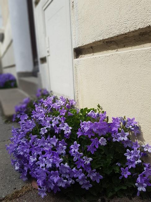 Végétaliser un trottoir Fleurs14