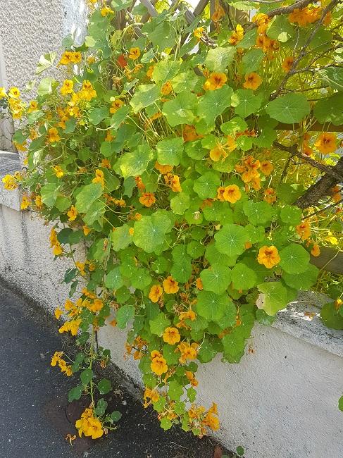 Végétaliser un trottoir Fleurs15