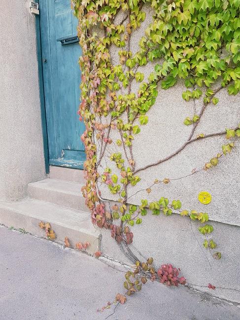 Végétaliser un trottoir Grimpa10