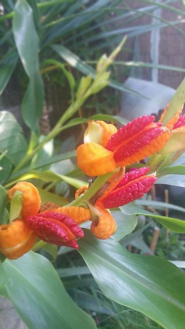 Hedychium horsfieldii Hedych13