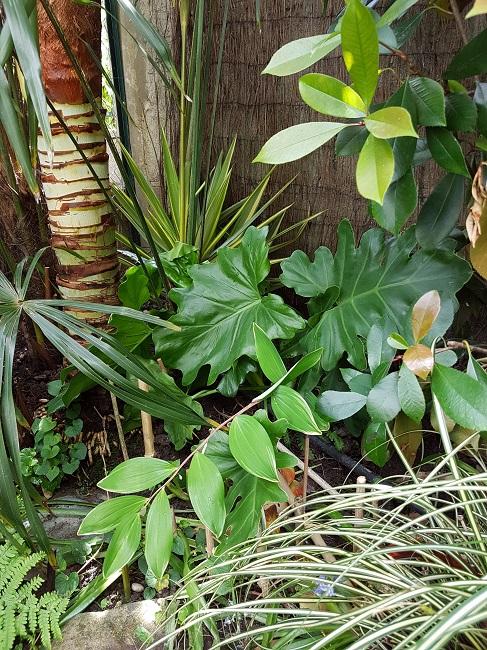 Philodendron bipinnatifidum - selloum - Page 2 Jardin23
