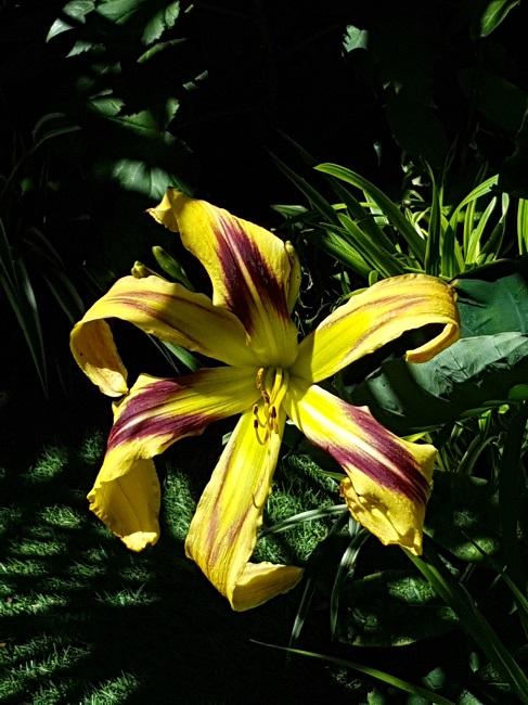 Hemerocallis - des variétés - Page 7 Jardin26
