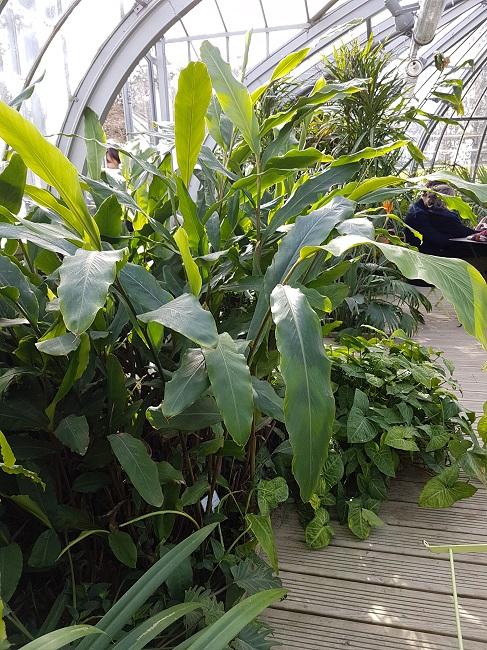 Curcuma xanthorrhiza Jardin54