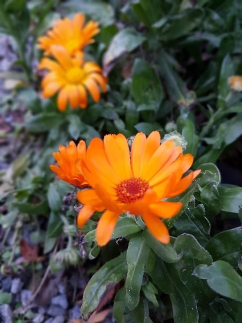 dernières fleurettes de l'année Last_c12