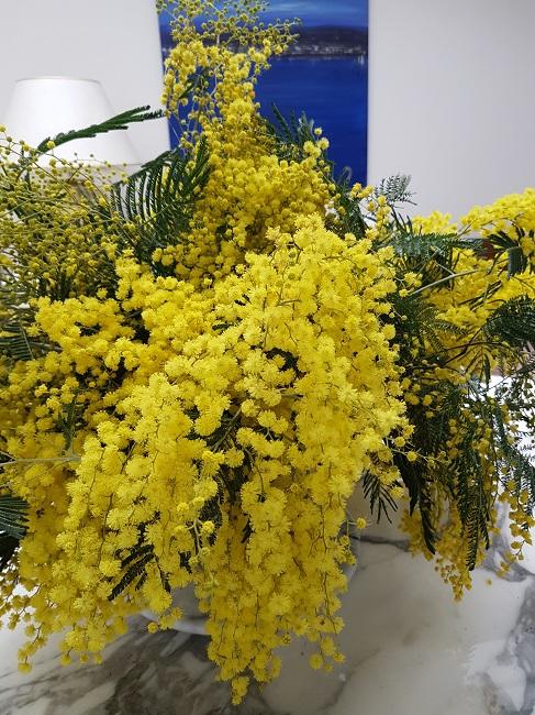 couleurs d'hiver au jardin  Mimosa14