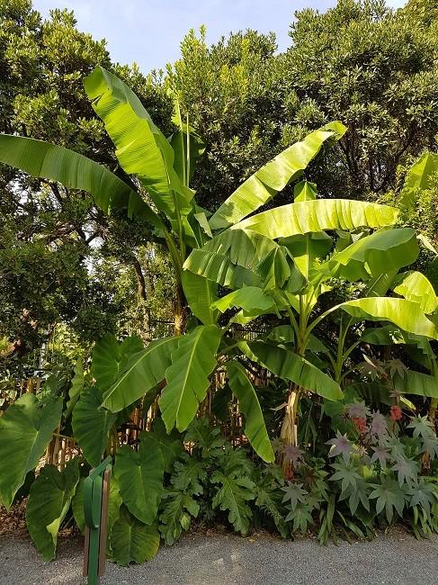 Musa yunnanensis - bananier du Yunnan Musa_b10