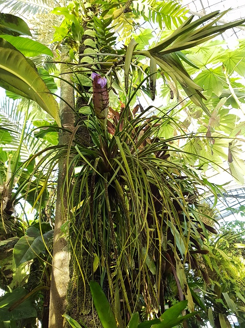 Bromeliaceae - famille - collections  - Page 4 Palmar13