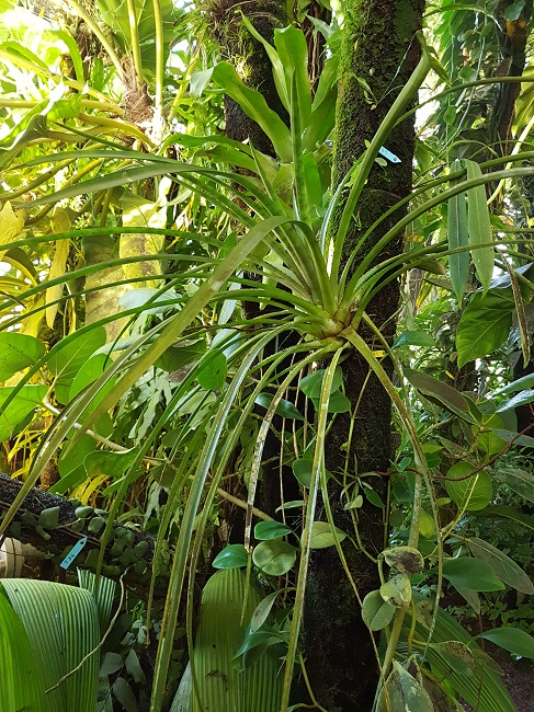 Bromeliaceae - famille - collections  - Page 4 Palmar15