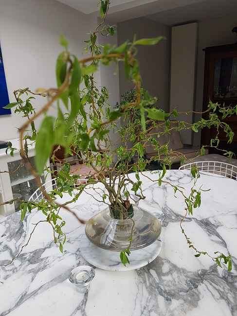 branches de Corylus Salix_12