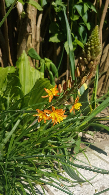 Bulbine frutescens Screen21