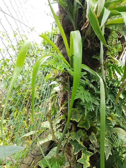 Support à épiphytes et broméliacées rustiques - Page 2 Se_bil14