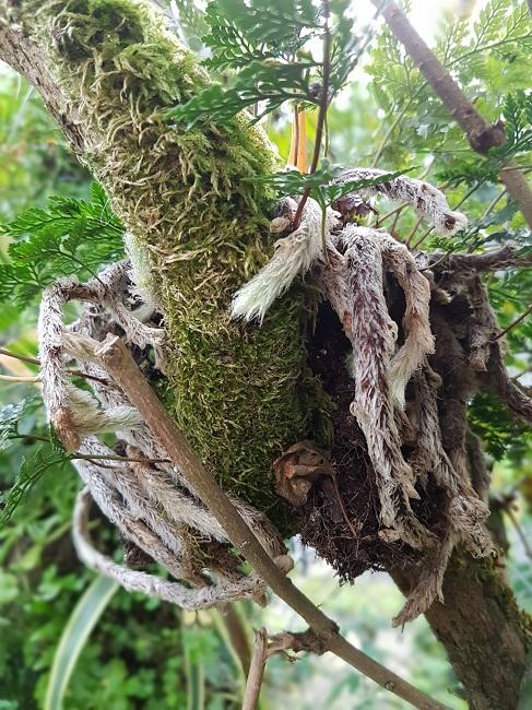 Davallia - fougère patte de lapin Se_dav11