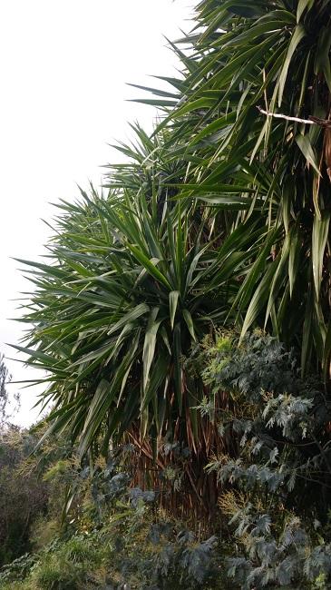 Yucca elephantipes - Yucca gigantea - Yucca guatemalensis - Page 2 Yucca_10