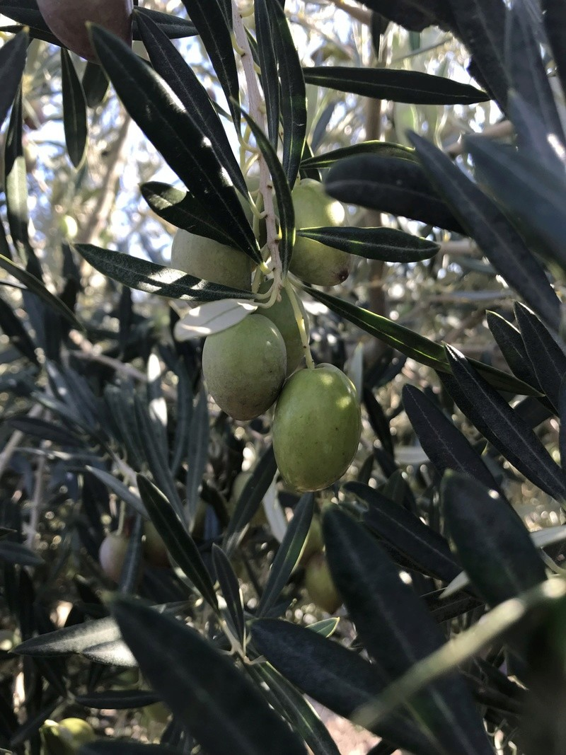 ¿De qué variedad son estas olivas? (Almería) Osso_110