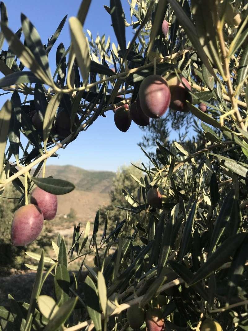 ¿De qué variedad son estas olivas? (Almería) Osso_111