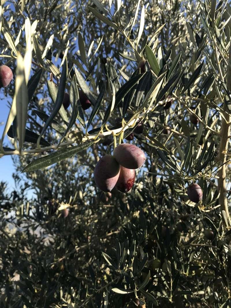 ¿De qué variedad son estas olivas? (Almería) Osso_112
