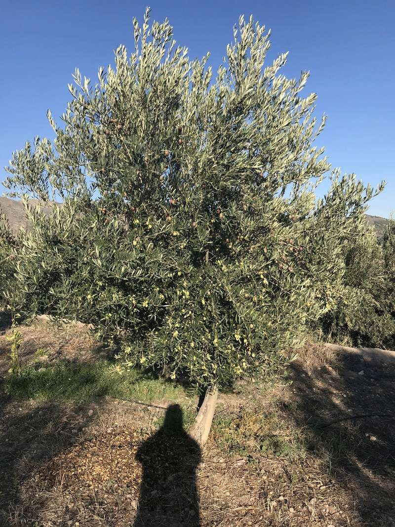 ¿De qué variedad son estas olivas? (Almería) Osso_113