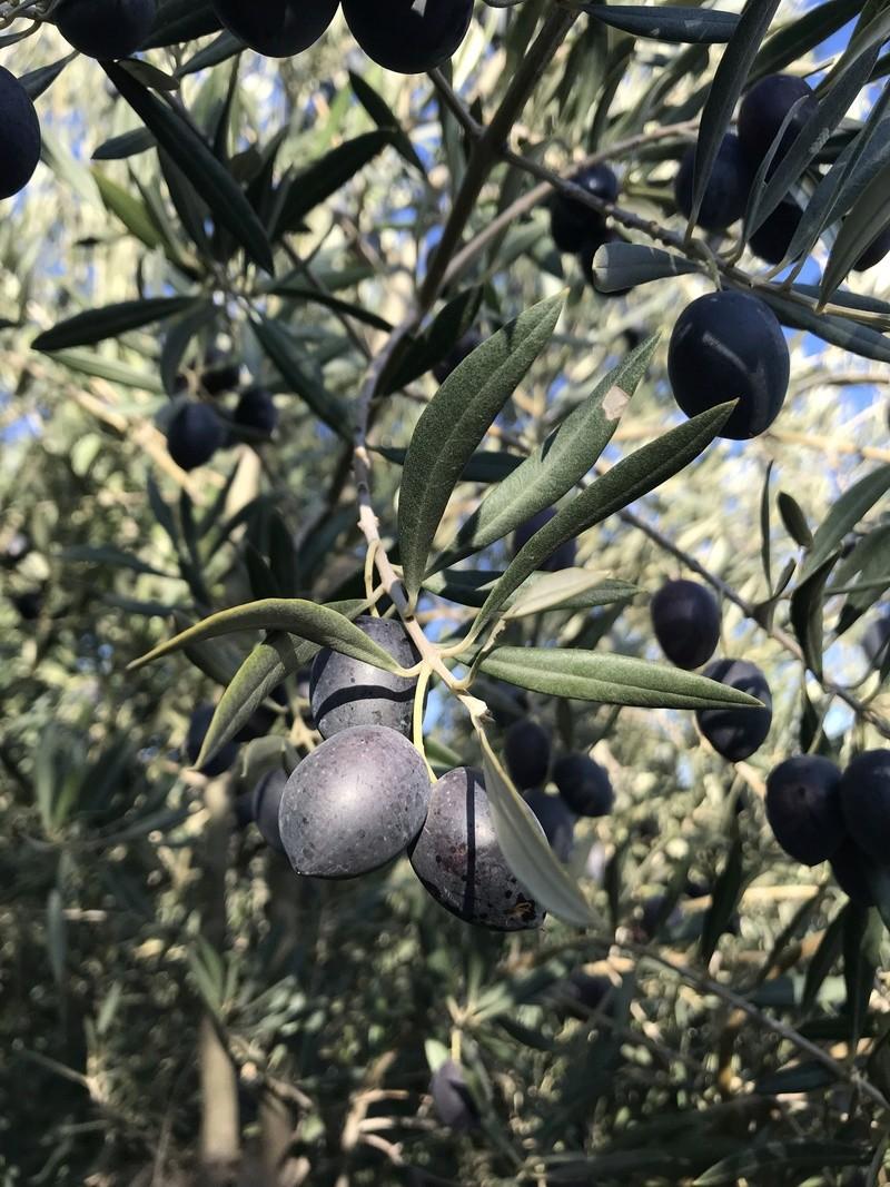 ¿De qué variedad son estas olivas? (Almería) Osso_114