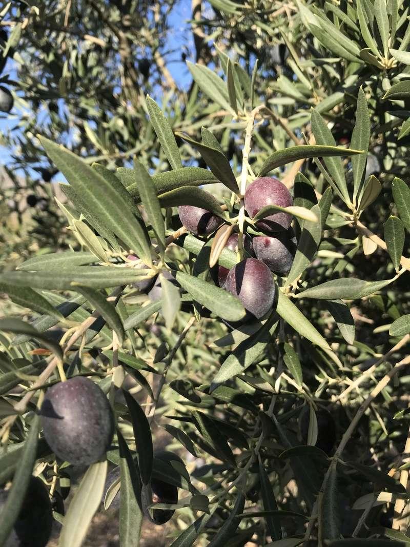 ¿De qué variedad son estas olivas? (Almería) Osso_115