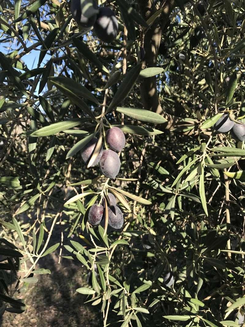 ¿De qué variedad son estas olivas? (Almería) Osso_116