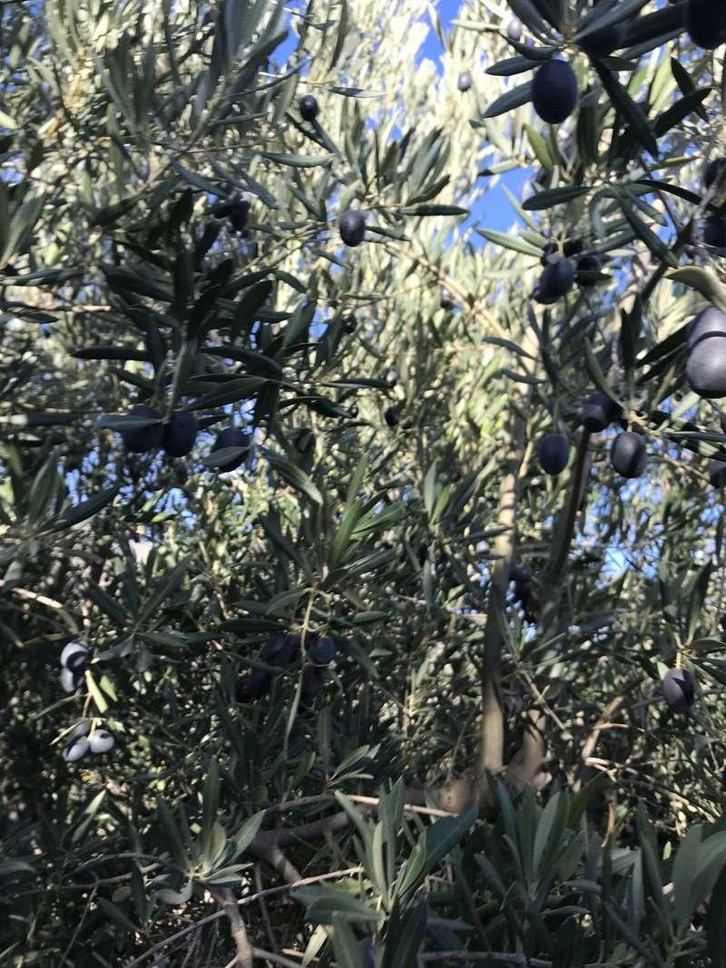 ¿De qué variedad son estas olivas? (Almería) Osso_117