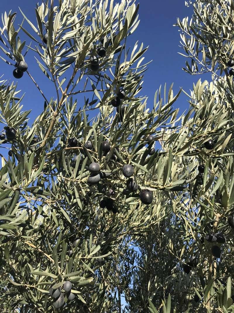 ¿De qué variedad son estas olivas? (Almería) Osso_118