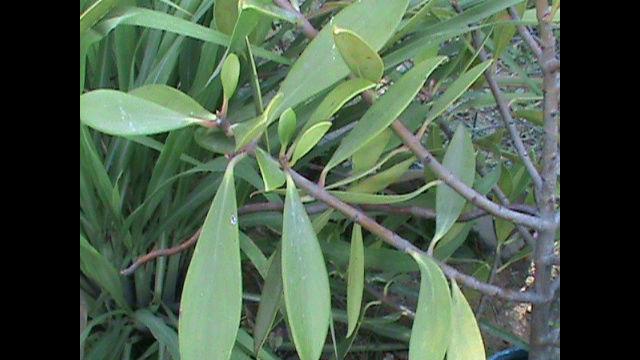 Que especie de pino es? Snapsh16