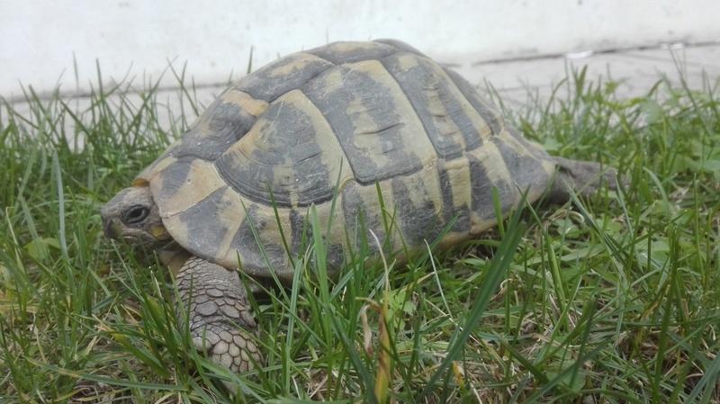 Tartaruga terrestre  Img_2012