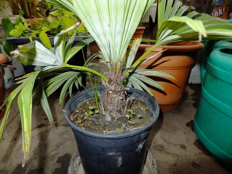 Trachycarpus geminisectus Dscf9816