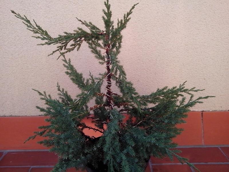 Juniperus stricta formación en chokkan Img_2011