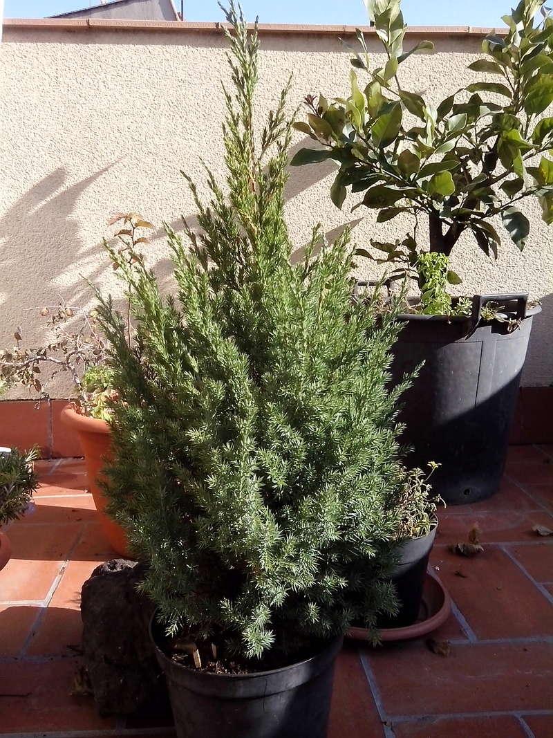 Juniperus stricta formación en chokkan Img_2013