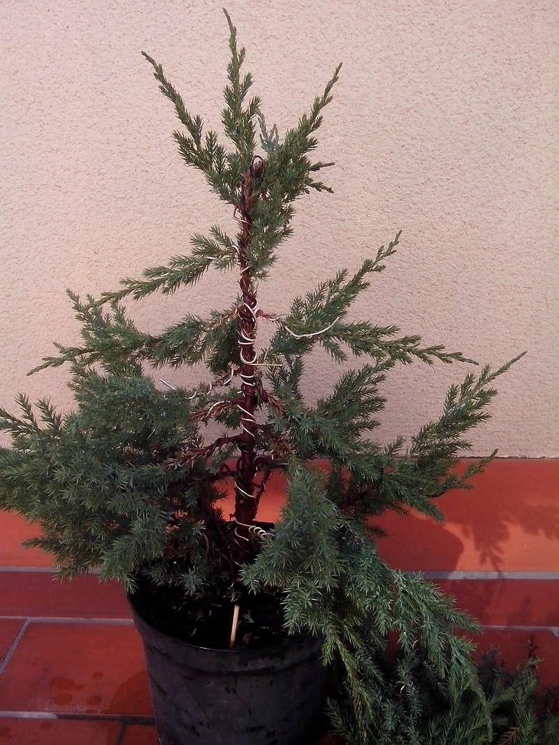Juniperus stricta: formación en chokkan Img_2016