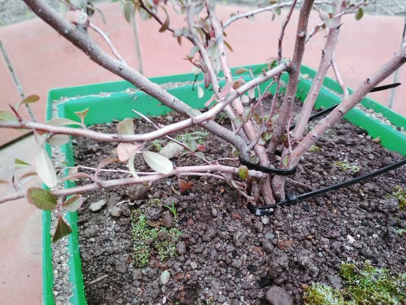 Bonsai de morera blanca desde plantón. Img_2028