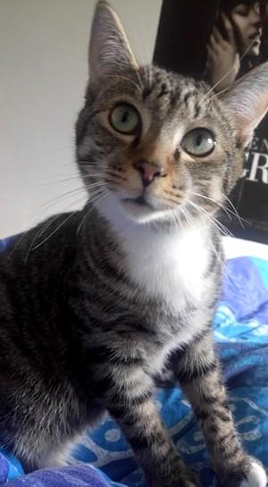 NIKEL, chat mâle tigré, né le 22 mai 2017 26793411
