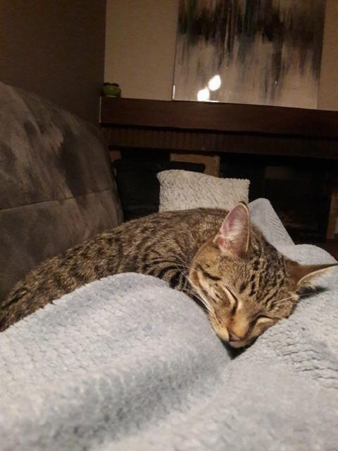 NIKEL, chat mâle tigré, né le 22 mai 2017 28534710