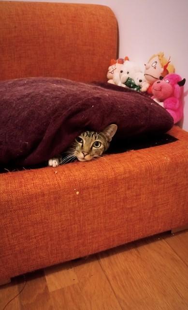 NIKEL, chat mâle tigré, né le 22 mai 2017 29665710