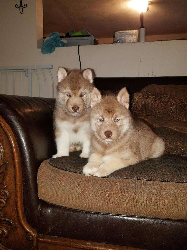I NEED HELP! SOON TO BE HUSKY OWNER  20171210