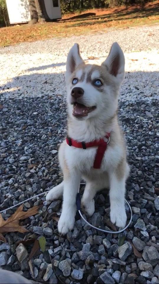 Husky puppy color changes? Rhea_310