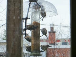 Moineaux domestiques au pain d'oiseaux Img_1012