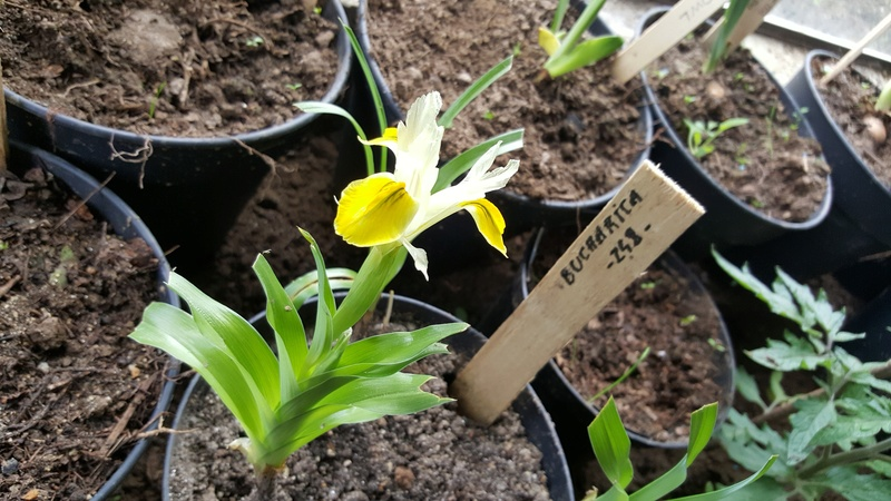 Iris bucharica 240_bu10