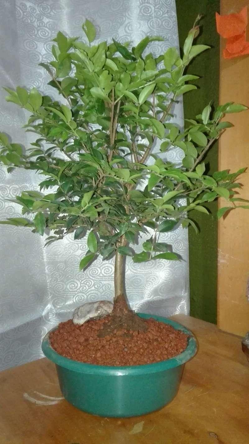 Novato, bonsai frutal. Img_2010