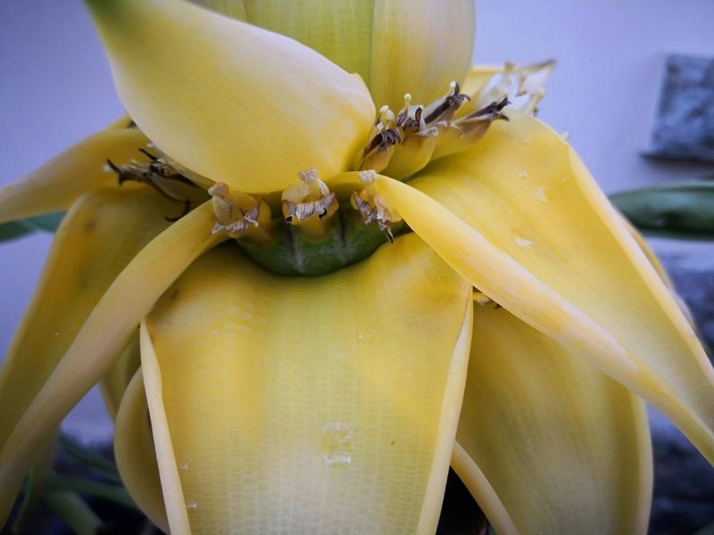 Bananengewächse (Musaceae) - Seite 7 Img_2137