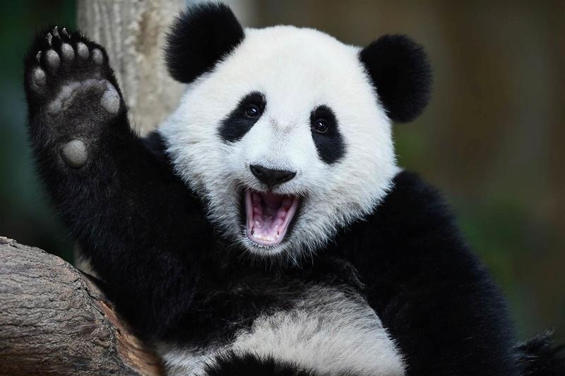 [Jeu] Association d'images - Page 4 Panda10