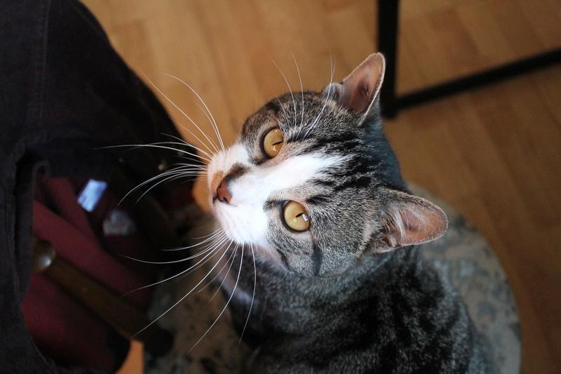 iaki - IAKI, mâle européen gris Tabby et blanc, né en novembre 2013 Img_2712