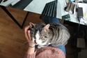 iaki - IAKI, mâle européen gris Tabby et blanc, né en novembre 2013 Img_2912