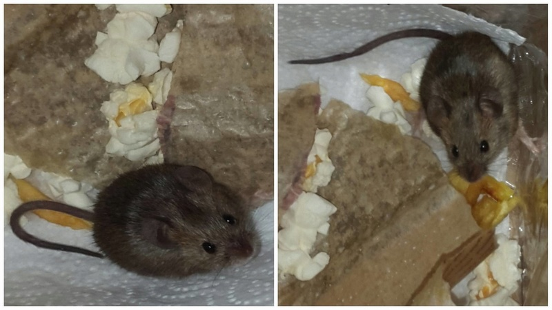 Help and questions about wild mouse please!  Foster10