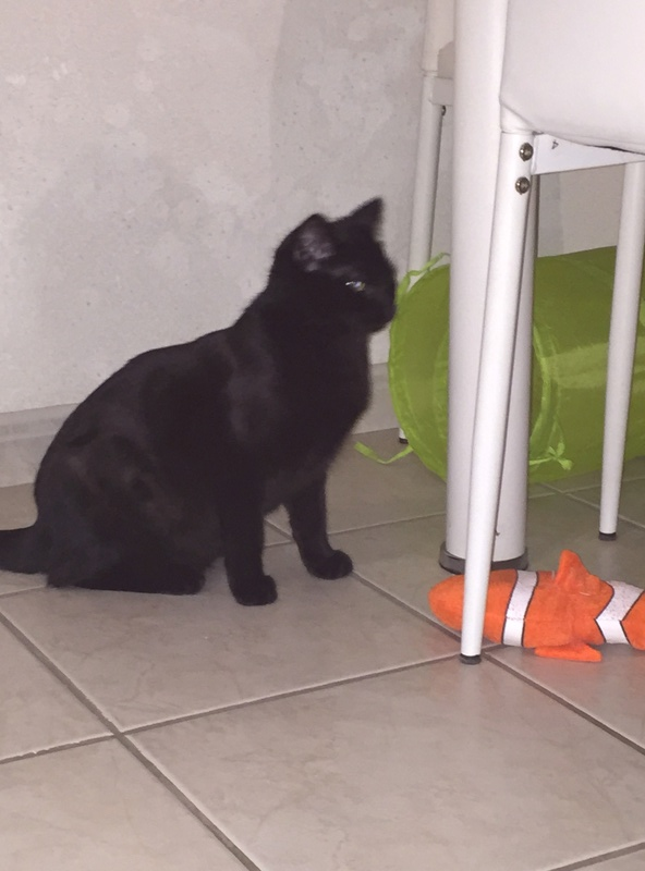 NYSSA, chatonne noire, née le 25/05/17 3db26310