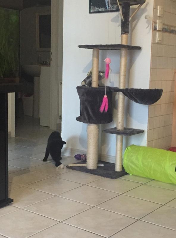 NYSSA, chatonne noire, née le 25/05/17 Cf0af210