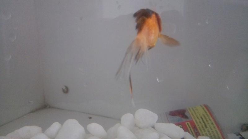 [Doença]  (PRINCIPIANTE) Peixes perdendo a cauda e morrendo 25189410
